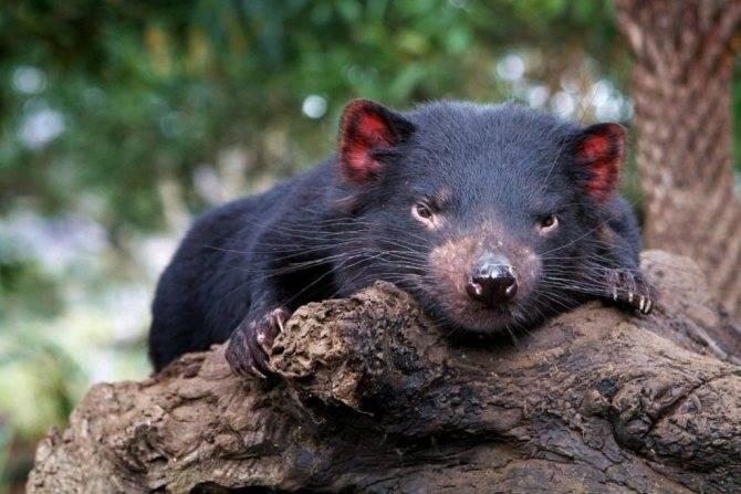 Тасманский дьявол - как выглядит, чем питается, как кричит, почему его так назвали и другие интересные факты