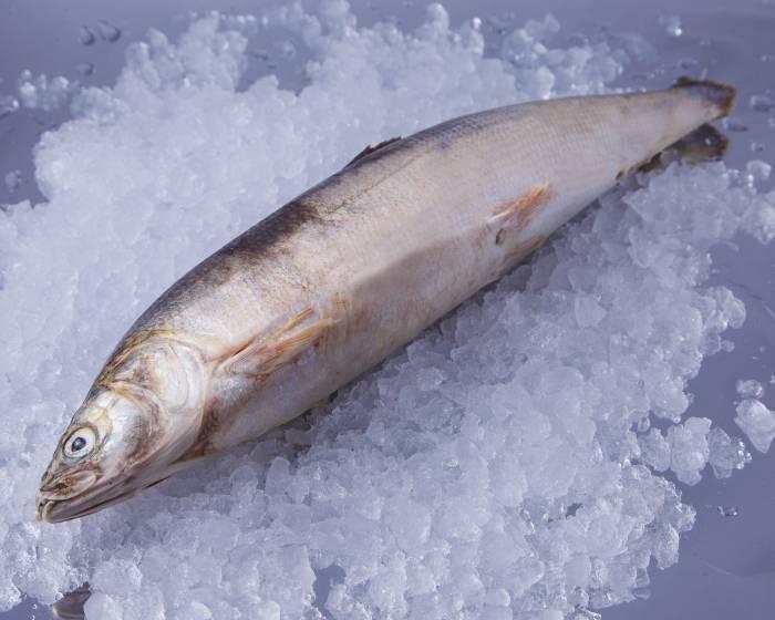 Муксун рыба: описание с фото, рецепты приготовления, как ловить