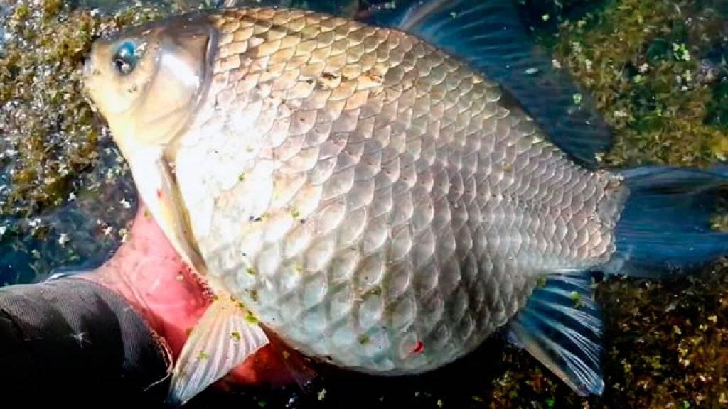 Рыба карась — польза и вред для организма   польза и вред