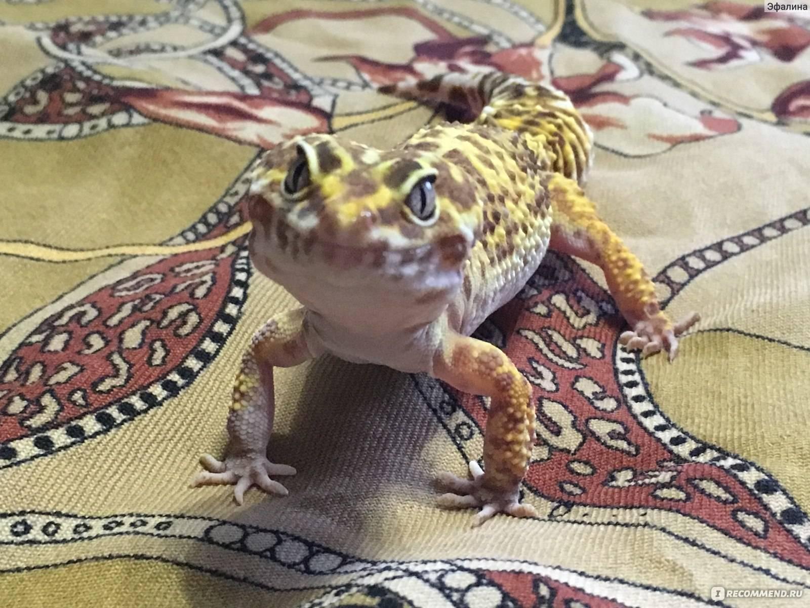 Содержание леопардового геккона, пятнистый эублефар — физиология и болезни