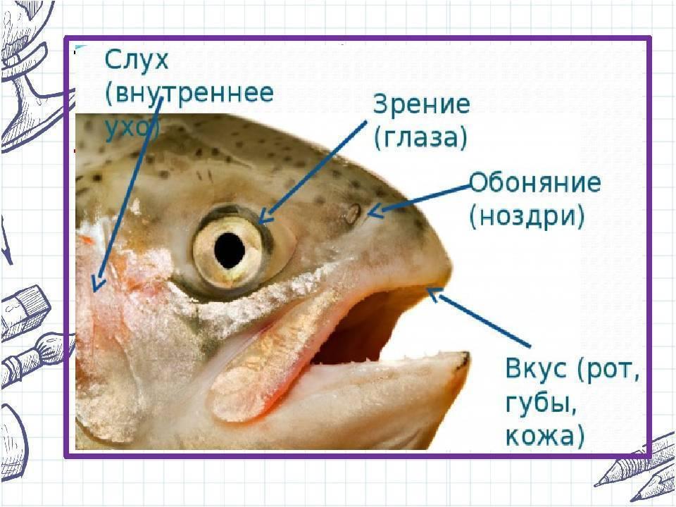 Основные органы чувств у рыб