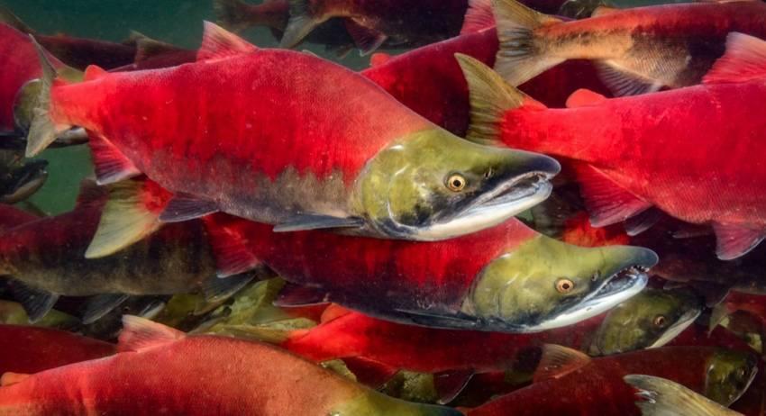 Что нужно знать о нересте у рыб?