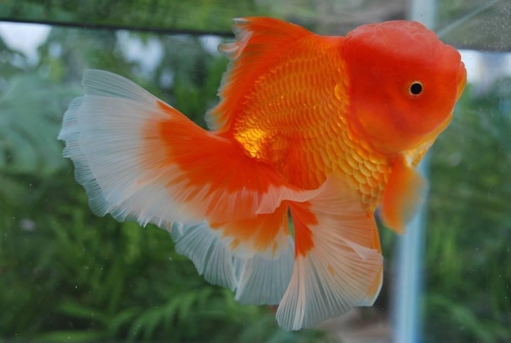 Золотые рыбки — украшение аквариума