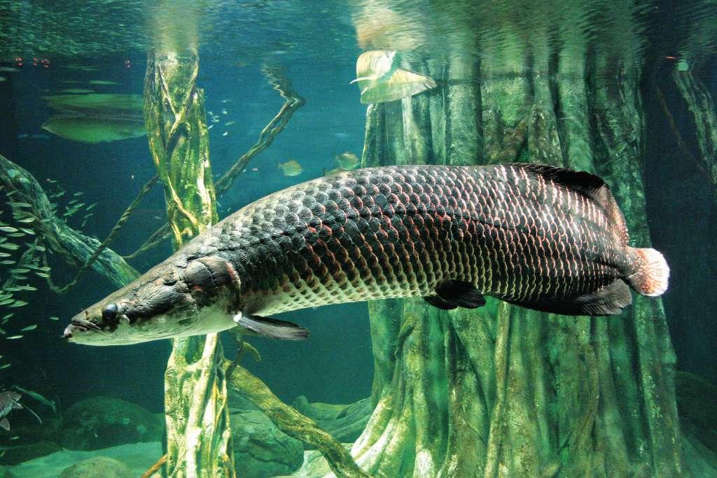 Рыба пираруку или рыба арапайма: фото и интересные факты