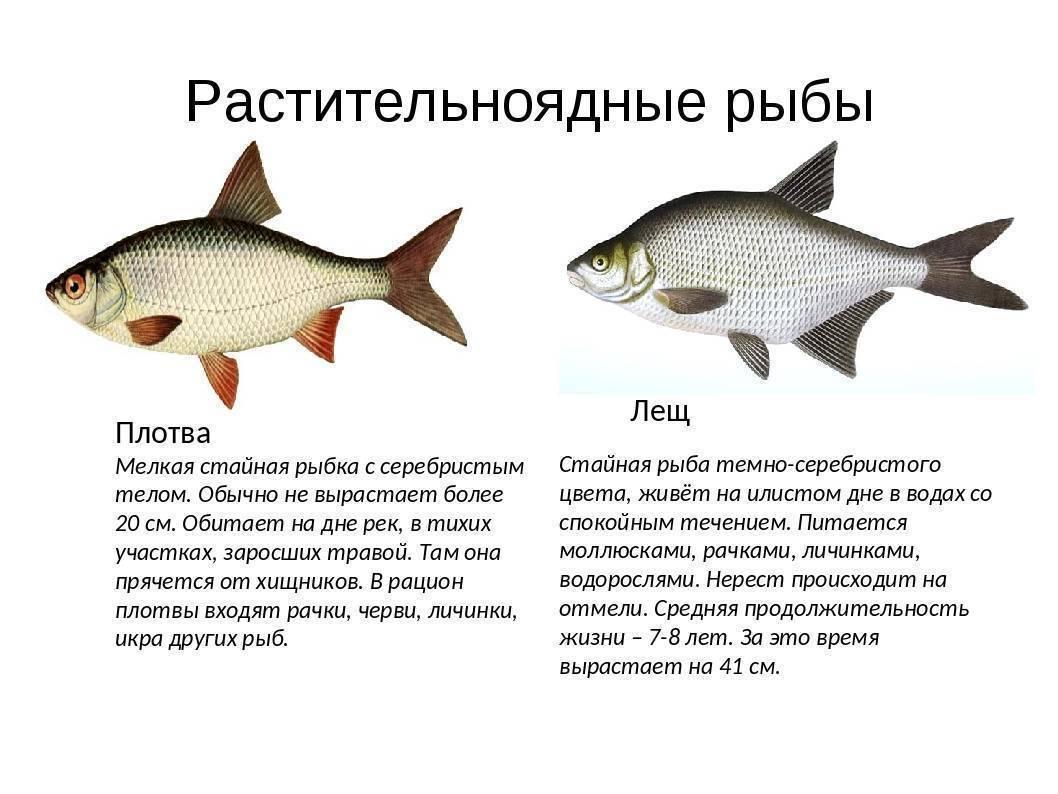 Рыба горчак (синявка) — фото и описание, повадки, нерест, ловля