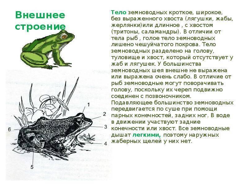 Остромордая лягушка: описание, места обитания, образ жизни, размножение