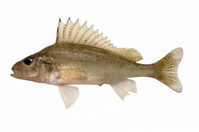 Каких видов бывает рыба ерш и особенности каждого из них