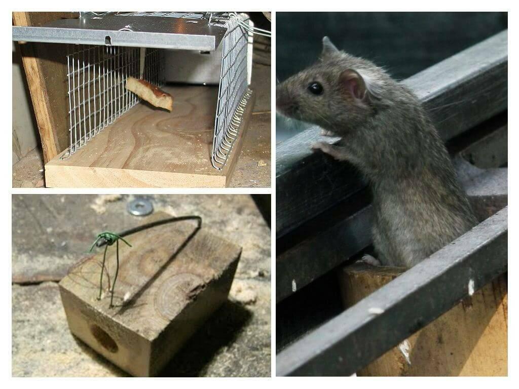 Приманка для мышей что лучше