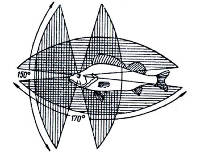 Животный мир → как некоторые рыбы, например камбала, меняют цвет в зависимости от окружающей среды?