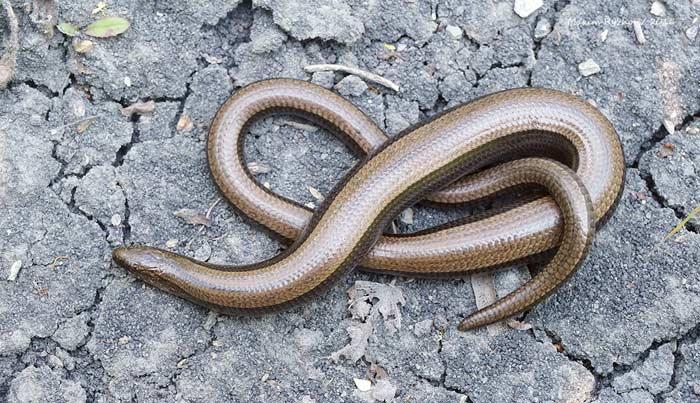 Ящерица, которая «выдает» себя за змею. желтопузикновости