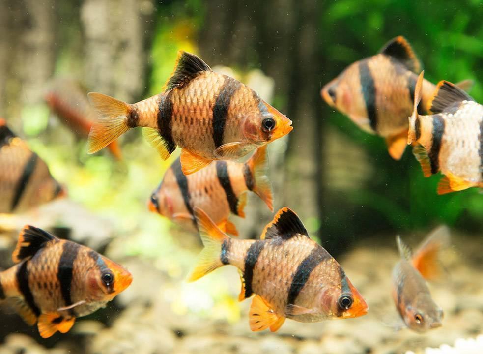 Зеленый барбус: содержание, правила размножения, основные отличия самца от самки, а также фото этой аквариумной рыбки