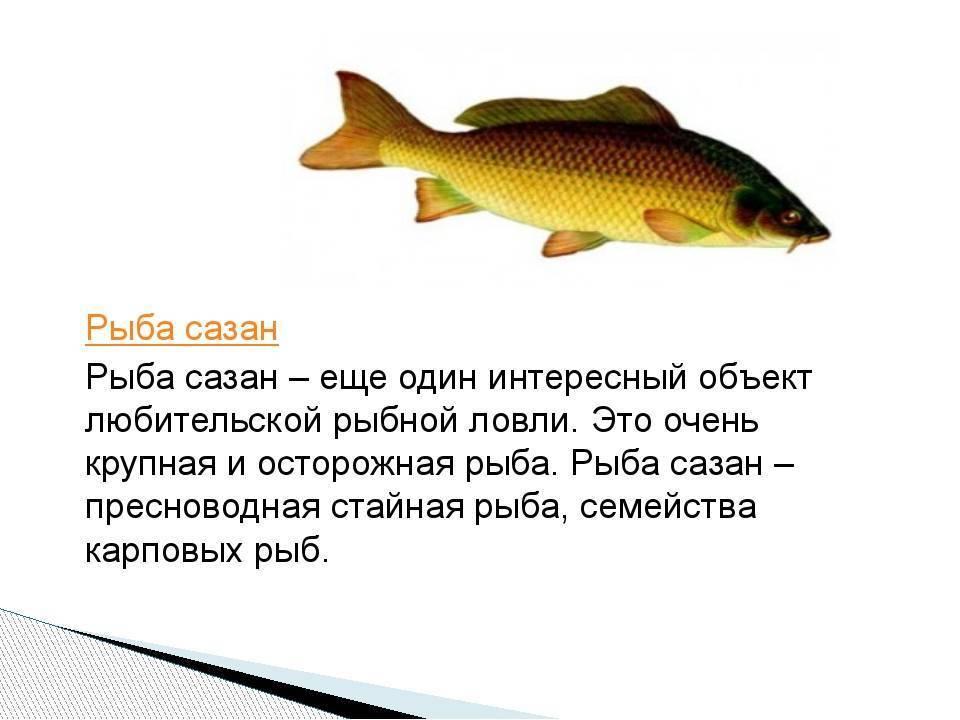 Рыбалка на сазан  - оснастка, прикормка и приманки.