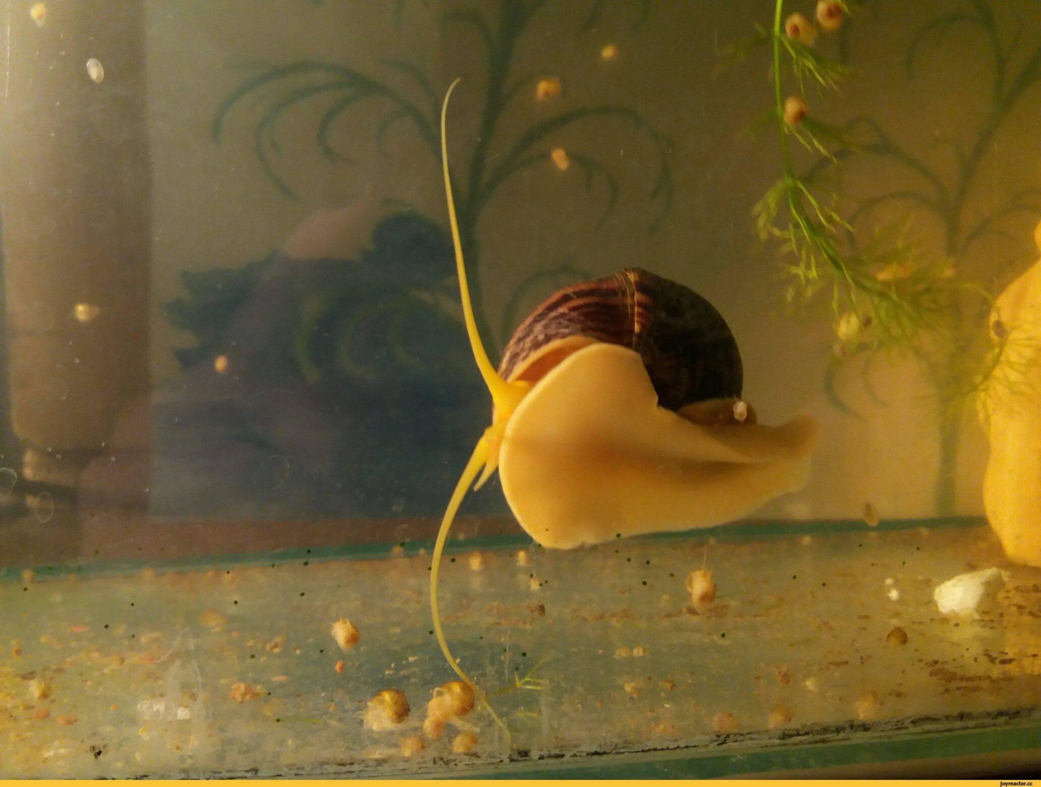 Улитки ампулярии в аквариуме и как их содержать?