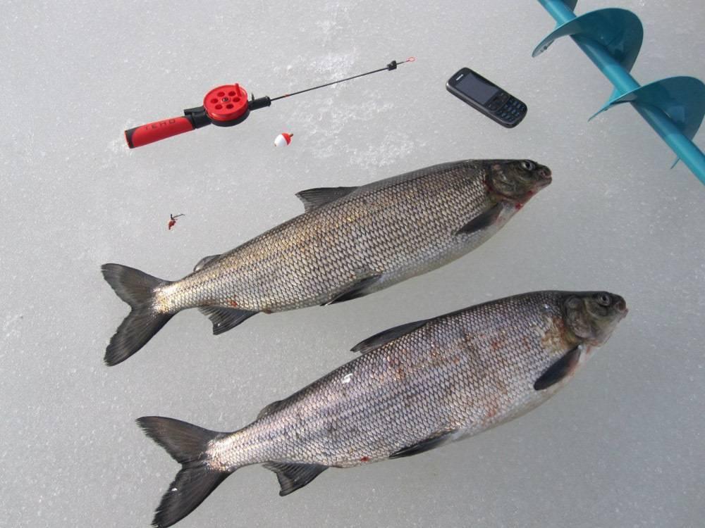 Рыба муксун: фото и описание, рецепты приготовления, польза и вред