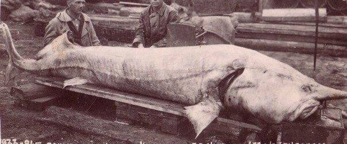 Виды и названия белой рыбы с описанием и фото