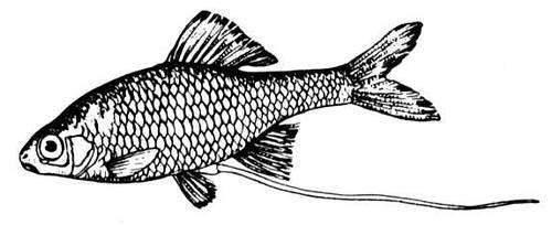 Рыбы россии — обыкновенный горчак