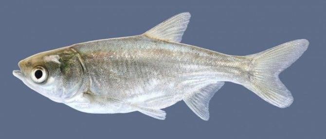Толстолобик жирная рыба или нет. толстолобик: польза и вред