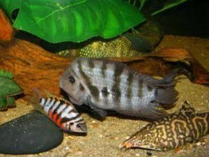 Рыбки, с которыми уживаются цихлиды в домашнем аквариуме: каких соседей можно подобрать хищникам