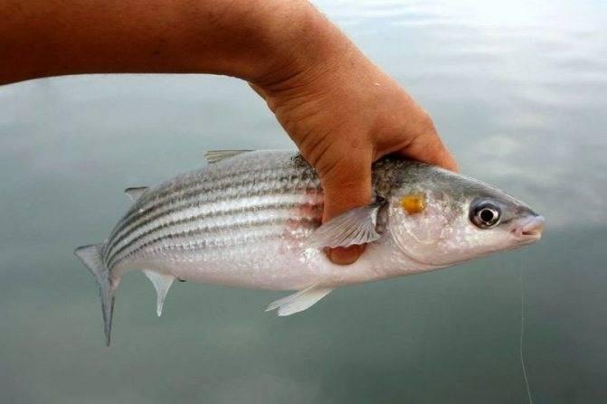 Рыба кефаль: полезные свойства для организма, состав, калорийность на 100 грамм, как выглядит, где водится, вред, противопоказания, фото