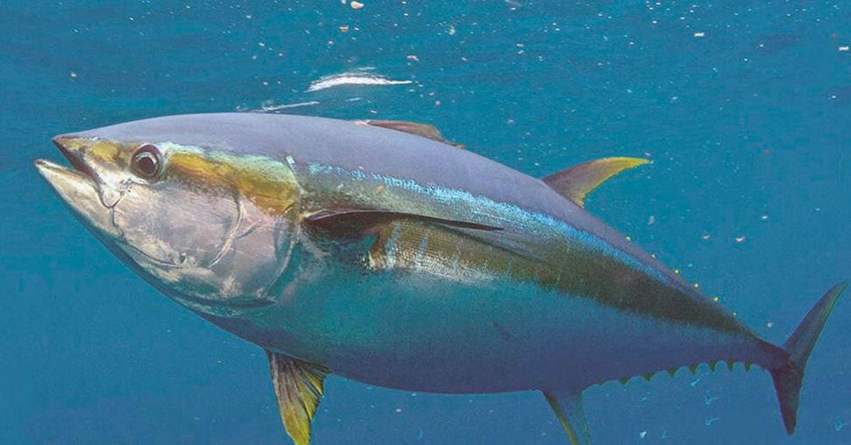 Польза и вред от тунца для здоровья