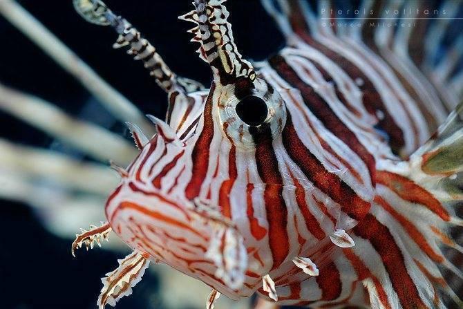 Рыба-клоун. описание, особенности, виды, образ жизни и среда обитания рыбы-клоун | живность.ру