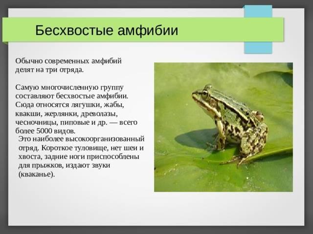 Болотная лягушка, или остромордая лягушка