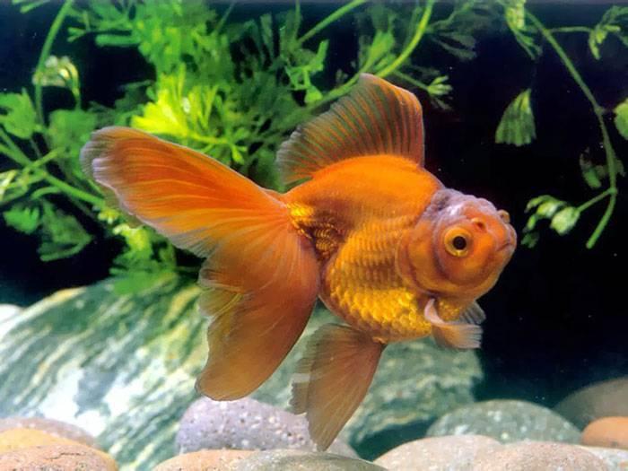 Вуалехвост - фото, содержание и разведение в аквариуме