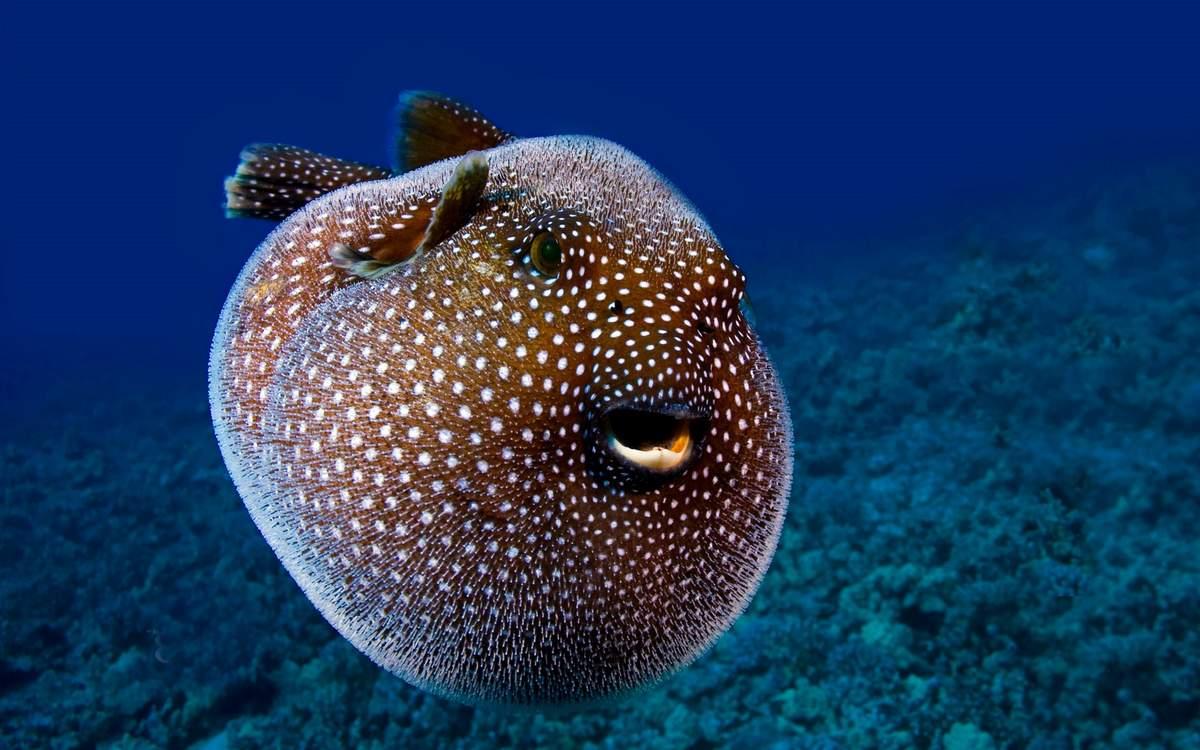Карпы кои: описание,содержание,кормление,разведение,совместимость,фото,видео. | аквариумные рыбки