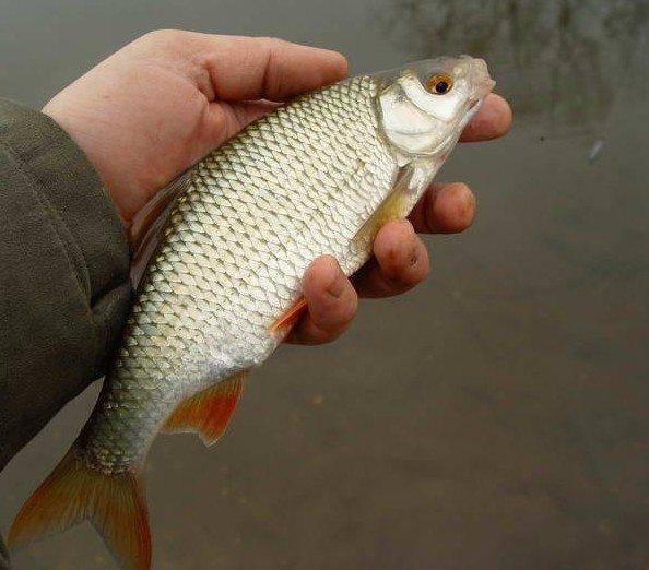 Рыба чебак — фото и описание сибирской плотвы, особенности ловли