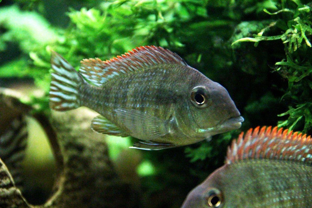 Цихлазома фламинго: фото рыбок, содержание, разведение, совместимость, видео цихлазома фламинго: фото рыбок, содержание, разведение, совместимость, видео