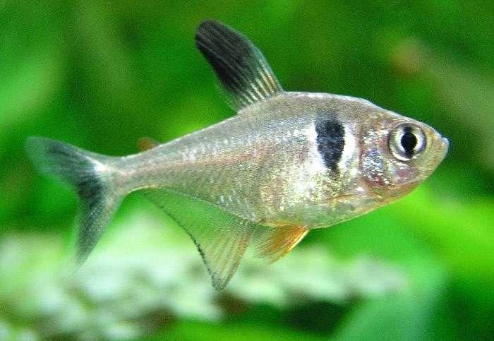 Содержание аквариумной рыбкой орнатуса и уход за ней