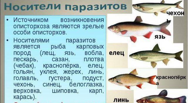 Болеет ли карась описторхозом: советы по приготовлению рыбы