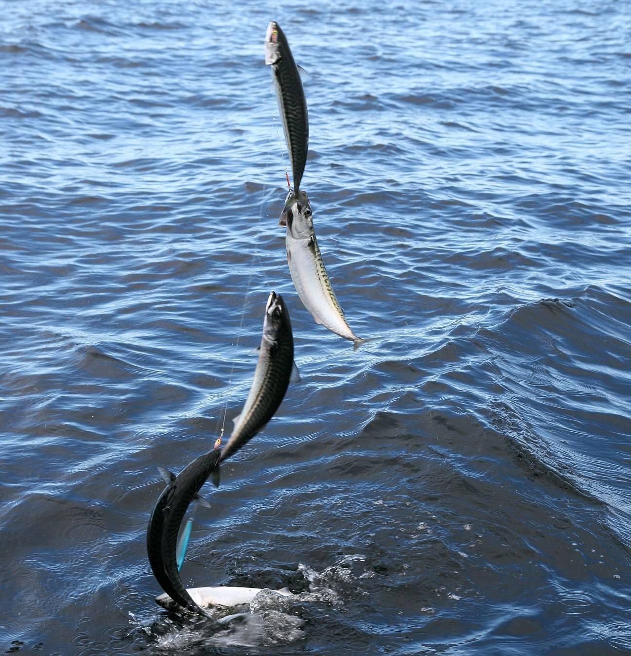 Все самое главное о макрели: что за рыба, где водится, как поймать и приготовить