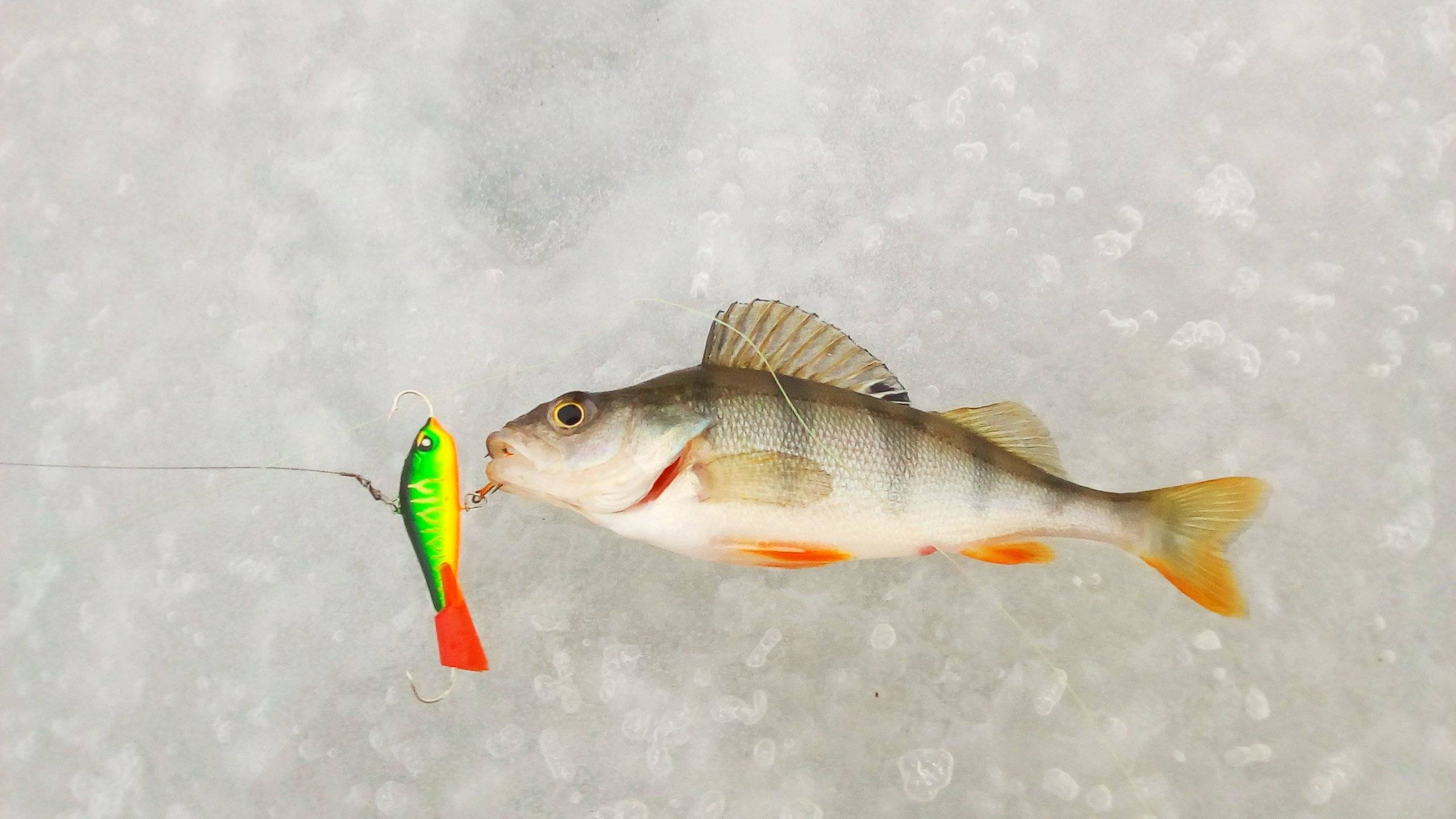 Как ловить судака зимой на балансиры - na-rybalke.ru