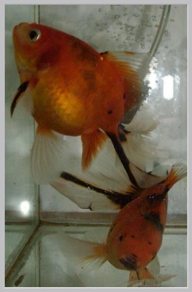Болезни рыбок петушков: внешние признаки и лечение