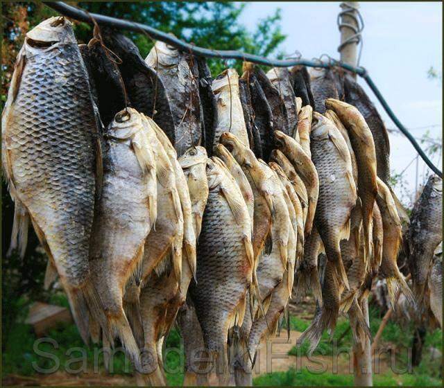 Рыба вобла: особенности, чем отличается от плотвы, где обитает, как правильно ловить