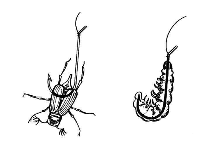 Как избавиться от личинок майского жука в огороде навсегда