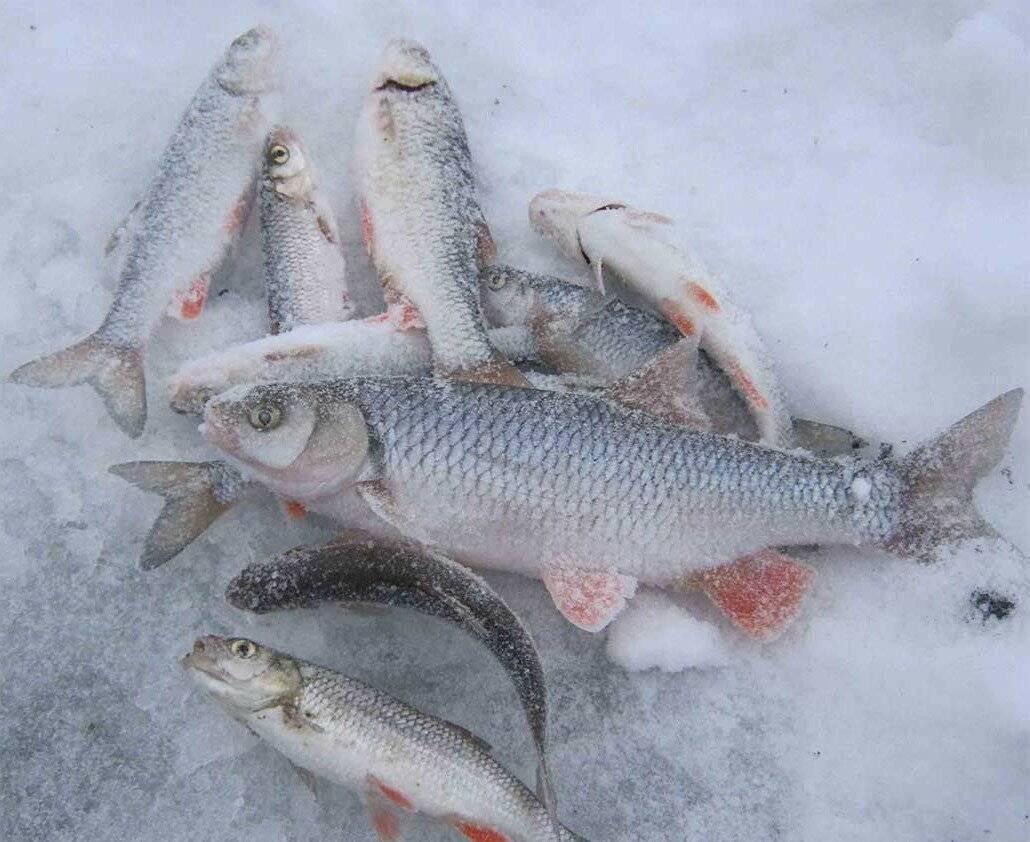 Ловля голавля зимой - первые шаги