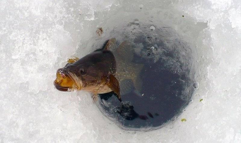 Как ловить ротана по первому льду и в глухозимье, на что клюет ротан зимой