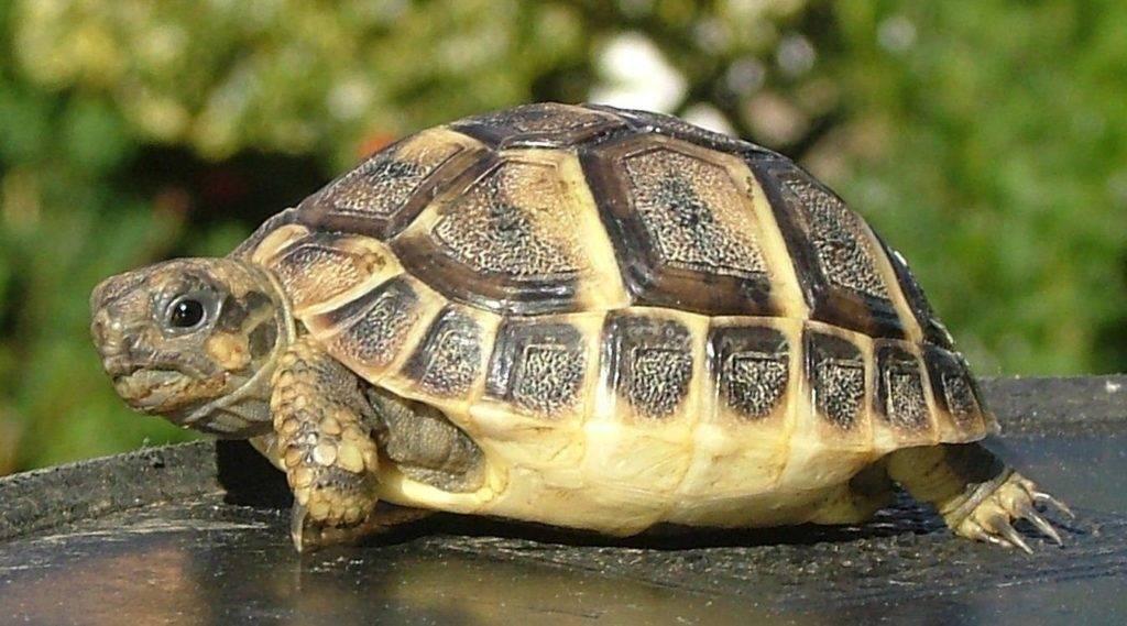 Домашняя черепаха плюсы и минусы. как выбрать черепаху для дома? какую лучше черепаху выбрать? практические рекомендации1 min read