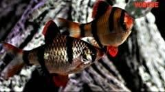 Суматранский барбус – фото, описание, содержание, размножение, купить