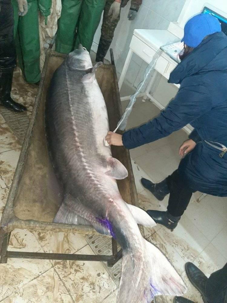 Белуга (рыба): описание и фото :: syl.ru