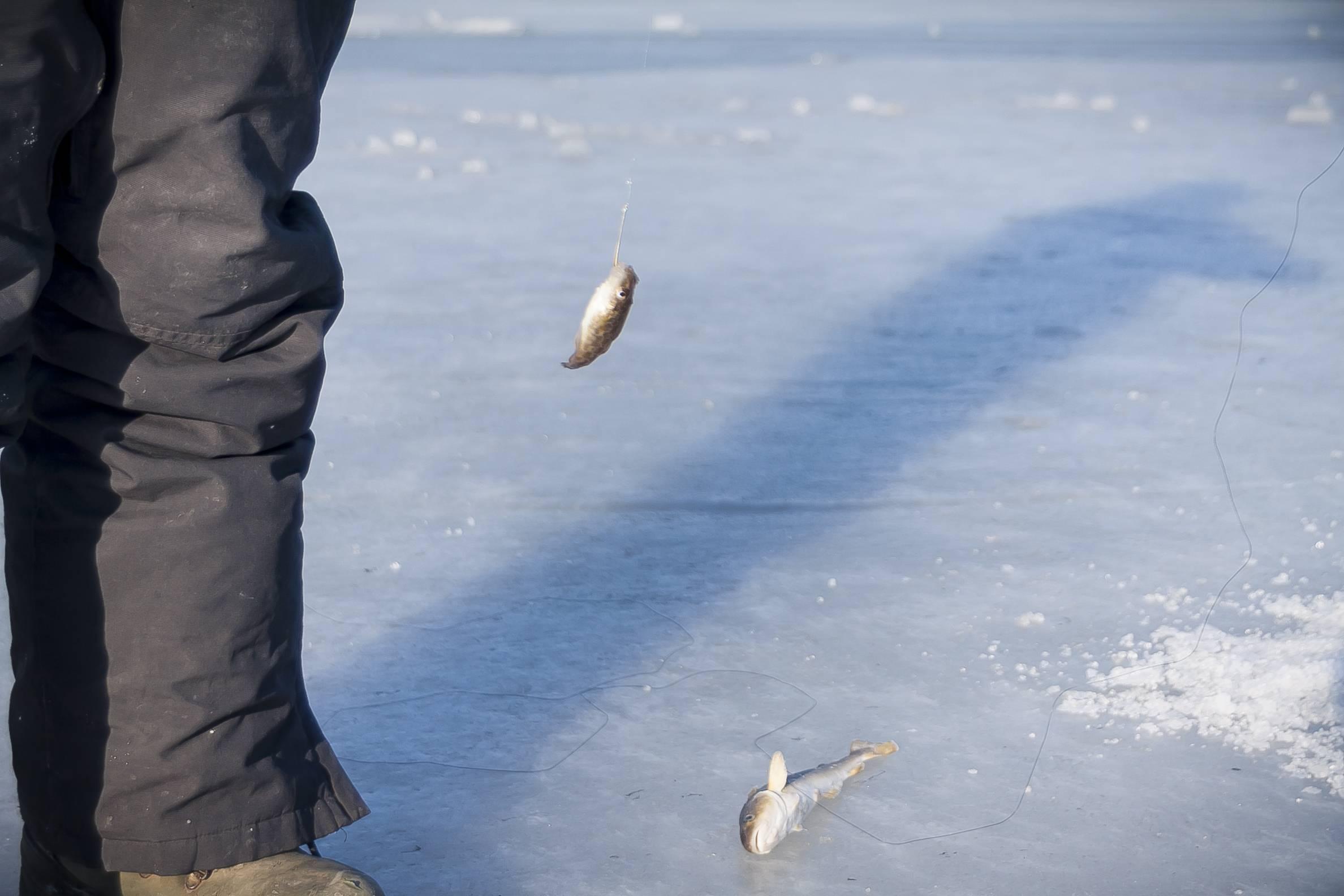 Навага рыба. образ жизни и среда обитания наваги | животный мир