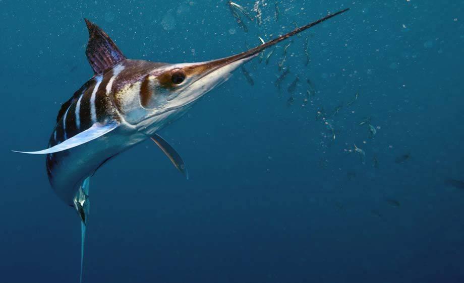 Рыба марлин: особенности вида, простые рецепты блюд