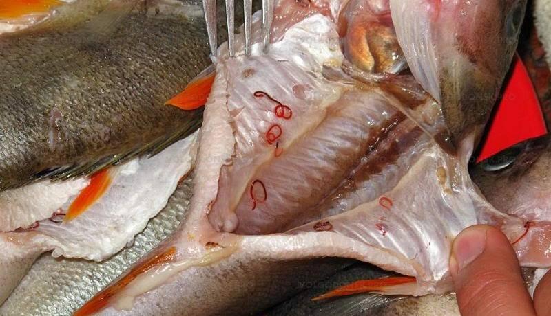 Есть ли опасные для человека паразиты в красной рыбе?