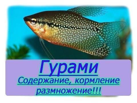 Рыба-ползун или анабас: яркий представитель лабиринтовых