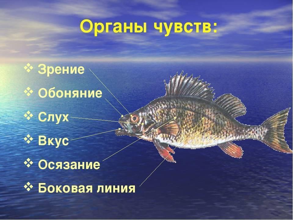 Есть ли мозг у рыбы: строение и особенности. какой у рыбы iq? : labuda.blog есть ли мозг у рыбы: строение и особенности. какой у рыбы iq? — «лабуда» информационно-развлекательный интернет журнал