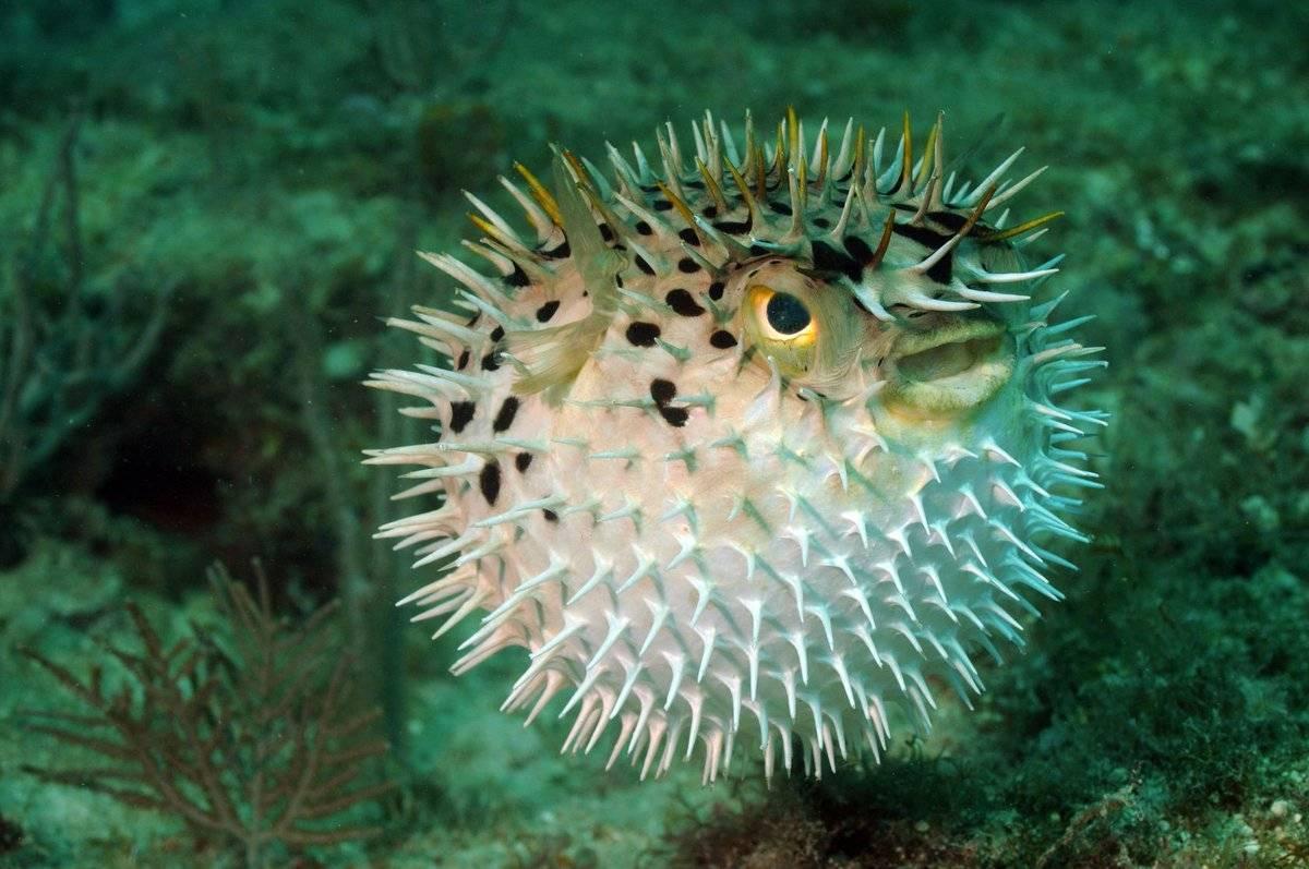 Рыба-шар аквариумная (тетраодон). ядовитая рыба-шар: описание породы