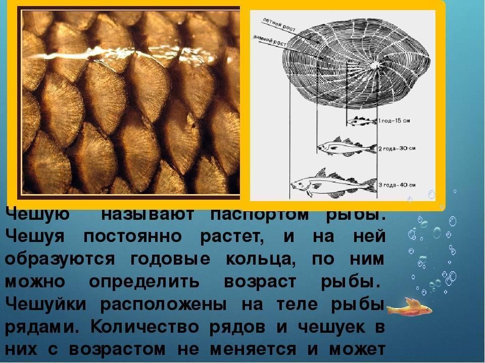 Методы, если приспичило узнать возраст рыбы   makchen.ru   яндекс дзен