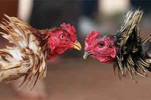 Бойцовые петухи: популярные породы, особенности птиц, как тренировать и фото